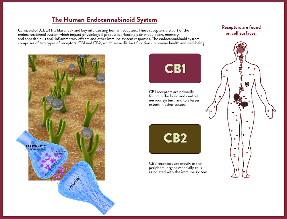 endocannabinoid system in humans
